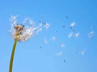Dandelion being blown in the wind against blue sky